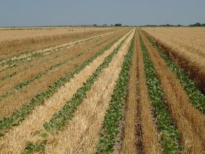 relay cropping of wheat with soybeans