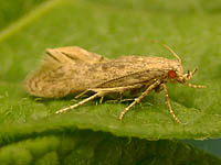 Potato tuber moth adult