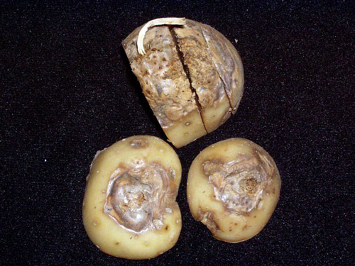 Dry Rot Of Potatoes Cropwatch