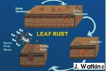 Leaf Rust | CropWatch