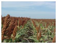 Photo comparing 2 sorghum field rows