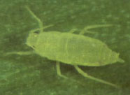 Photo of a Russian wheat aphid adult wingless female