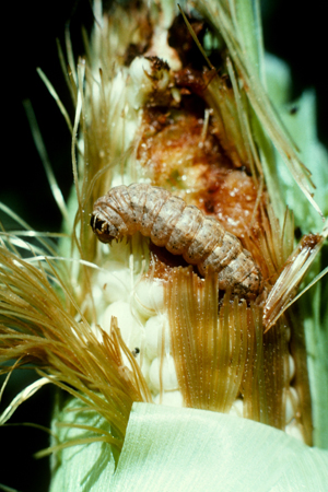 Photo of western bean cutworm larvae devouring a corn tip.