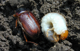 Photo - Adult and larva white grub