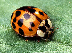 adult asian lady beetle