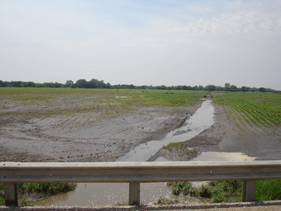 Photo of corn crop recovering from flood damage.