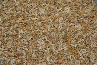 Photo of wheat grain with a high proportion of Fusarium-damaged kernels.