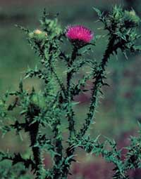 Photo of a plumeless thistle