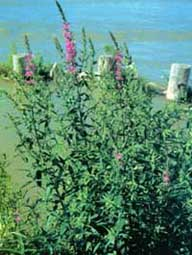 Photo of purple loosestrife