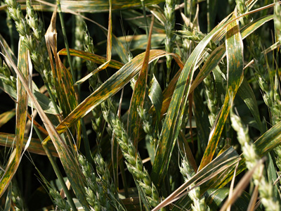 Photo of leaf streaking caused by black chaff in wheat.