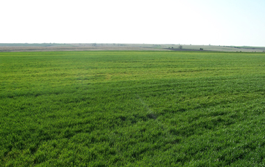 Fig 1: Yellowing and stunting of wheat showing over large areas in a field.