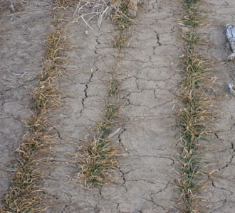 Estimating winter wheat yields can help determine whether recropping is necessary