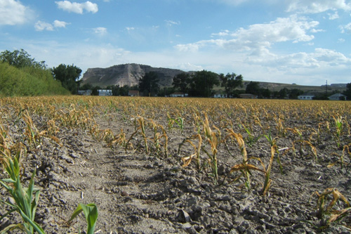 Photo of corn field damaged by June 8 freeze.