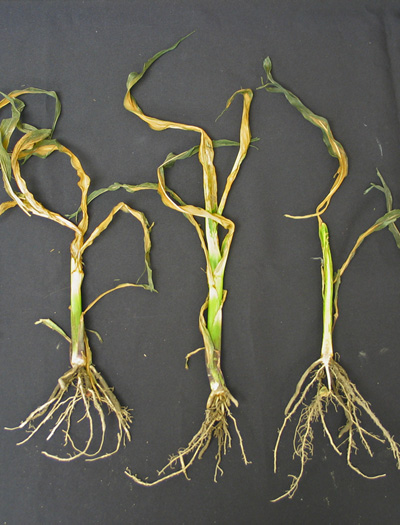 Photo of freeze-damage corn.
