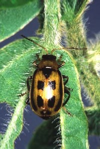 Closeup photo of a bean leaf beetle on a soybean plant.