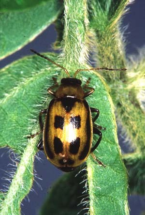 Soybean Insect Pests Cropwatch