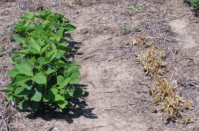 Photo of plants after they were sprayed with dicamba