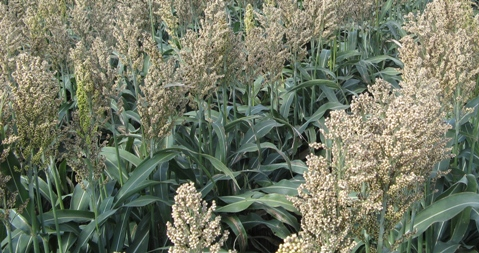 White Sorghum Heads