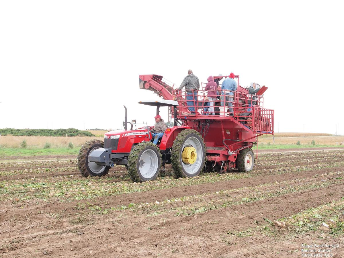 Harvesters in sugar beet field