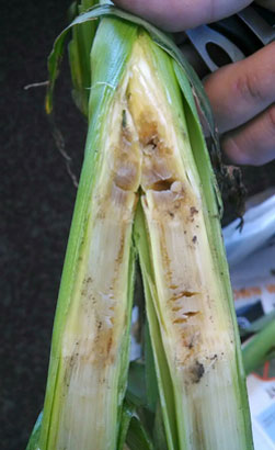 bacterial stalk rot of corn