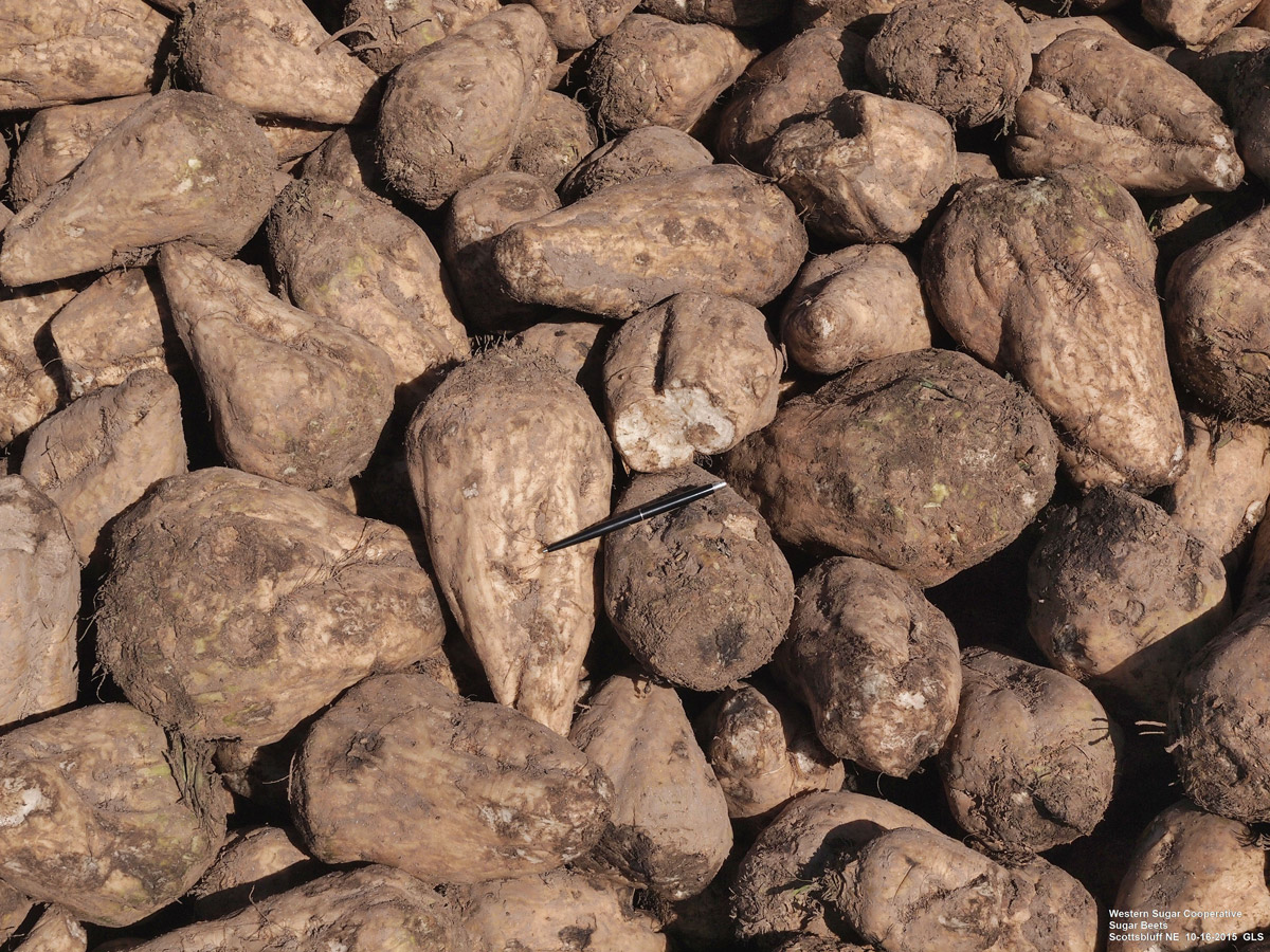 Figure 6. Harvested sugar beets in pile