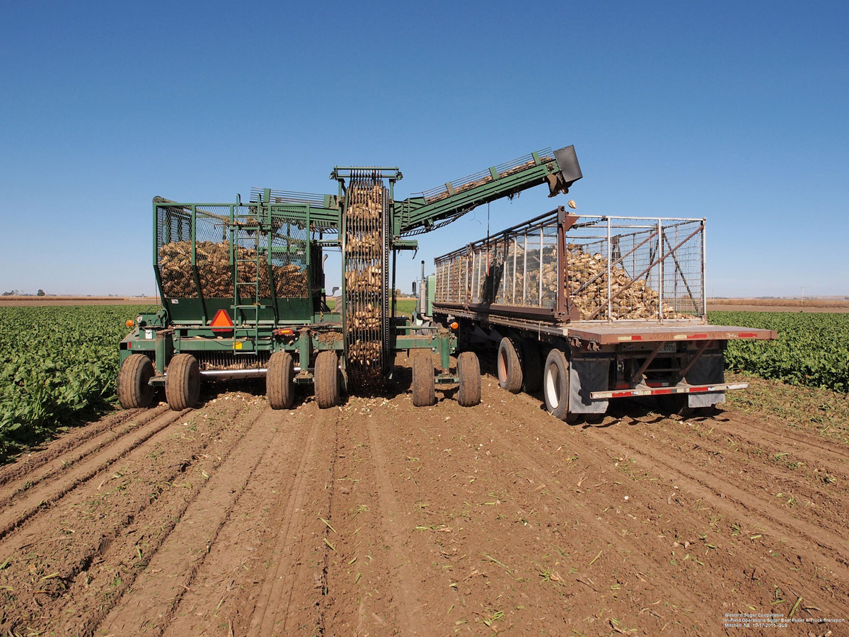 Figure 3. Sugar beet puller and truck transportation