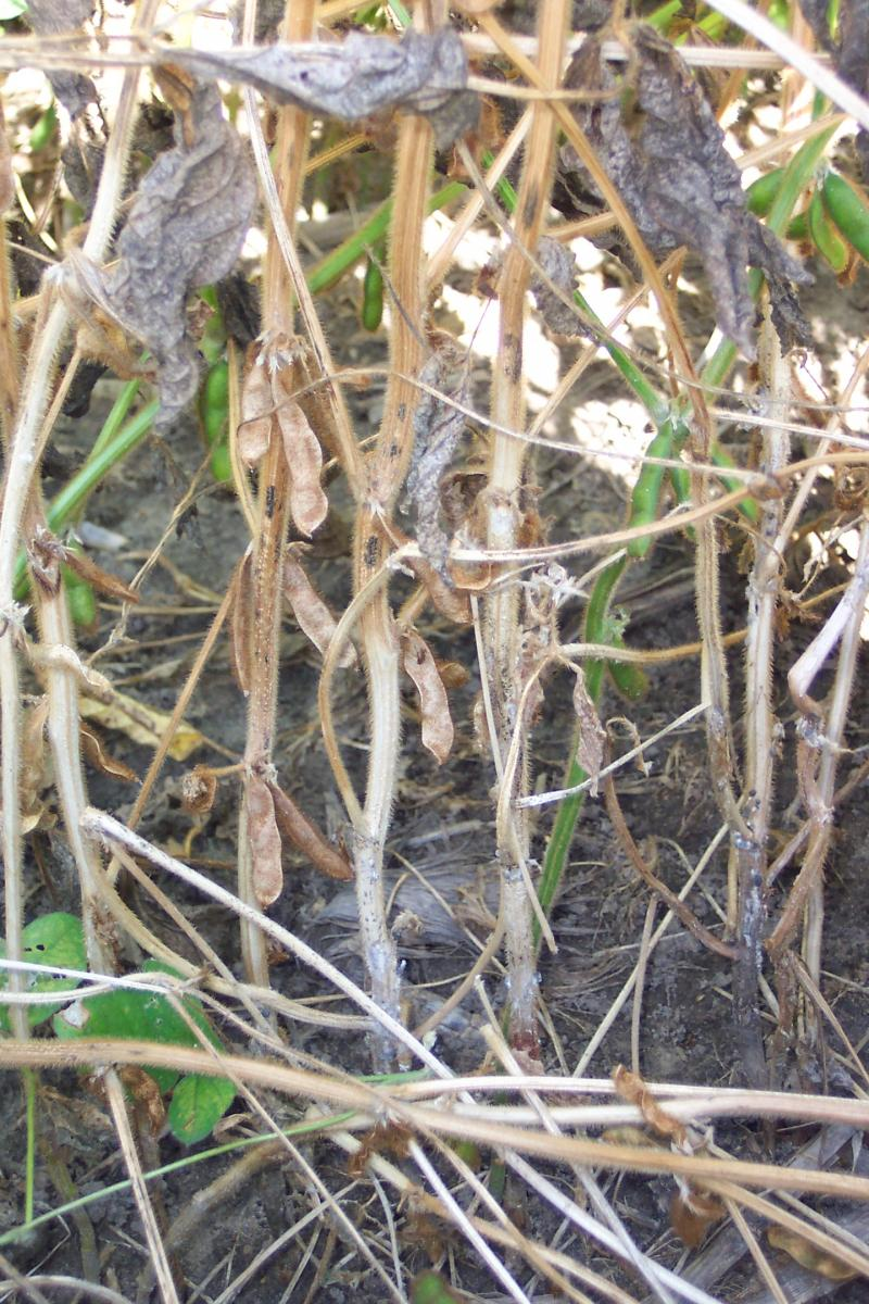 With White Mold More Common This Year In Soybean What S