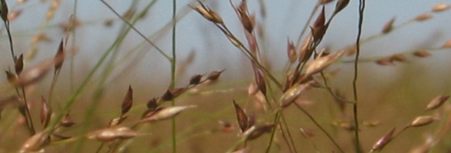Switchgrass closeup by Rob Mitchell