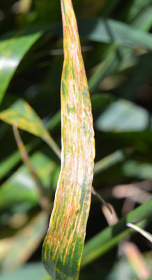 Wheat Bacterial Streak