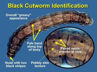 thumbnail image of cutworm identification image
