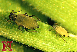 corn insects