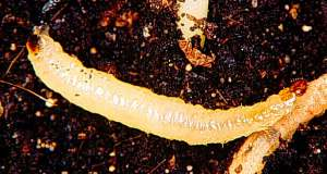 Corn Rootworm Larva
