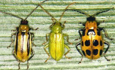 Corn Rootworm Adults