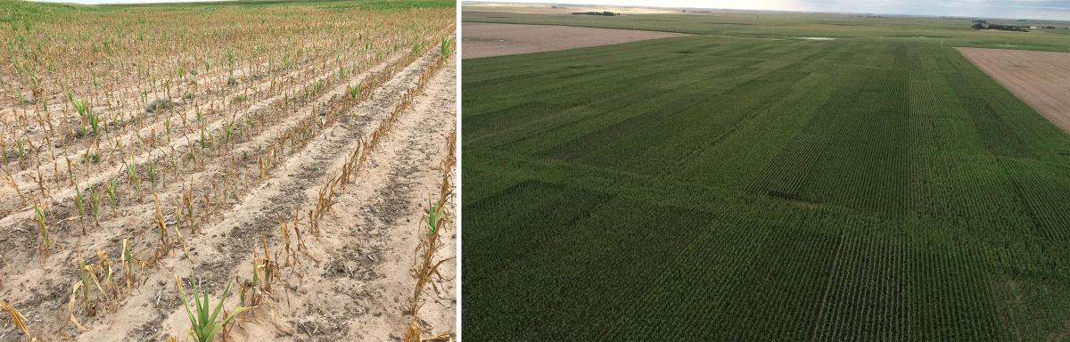 Figure 1. Field of early-planted corn that dried up due to drought conditions during the early season in 2017 (left). Areal imagery of the study conducted in 2019 (right).
