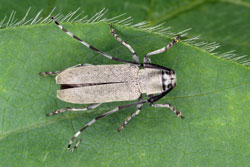 Soybean stem borer adult beetle