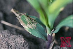 Corn flea beetle damage