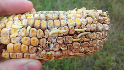 Sprouting hail-damaged corn