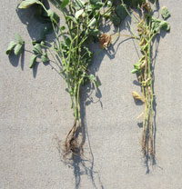 Soybean root rot damage