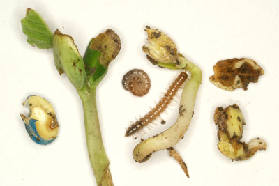 Garden millipedes and resulting damage in soybean