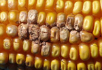 fursarium ear rot in corn