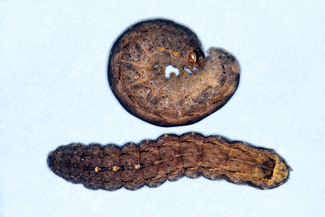Photo - Variegated Cutworm
