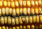 aspergillus ear rot in corn