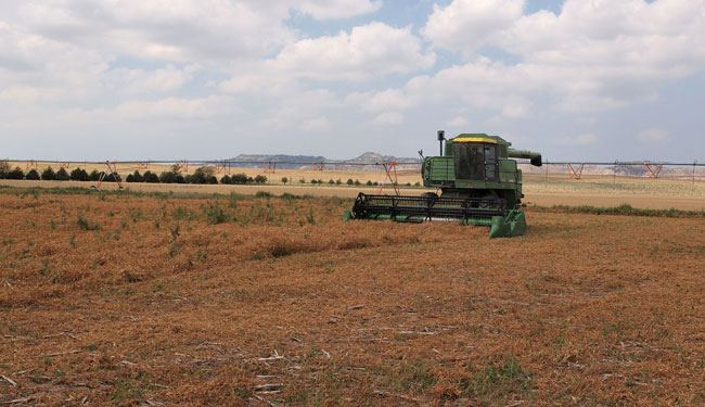 Harvesting edible yellow peas in the Nebraska Panhandle in July 2013