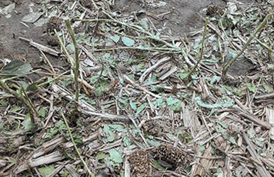 hail damaged soybean