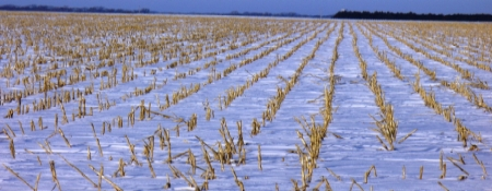 snow-covered corn field