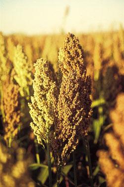 Forage sorghum & maize southern australia planting. Hsr seeds.