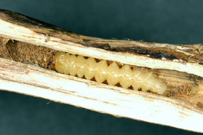 Soybean stem borer larvae