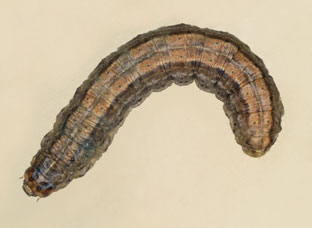 Clay-backed cutworm