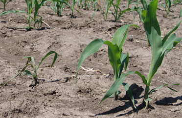 Corn seedling damping off