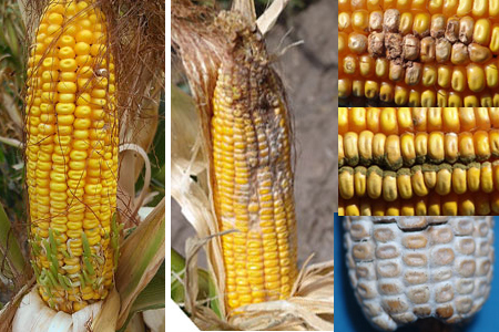 Corn sprouting and diseases